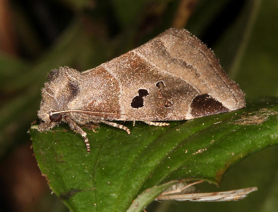 Noctuidae, Black-barred Brown - Plagiomimicus pityochromus