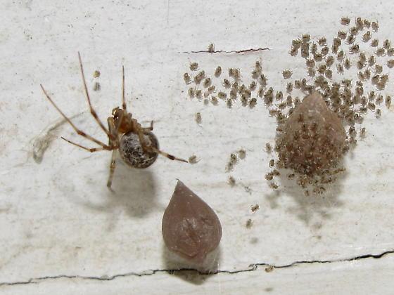 Spider ID request - Parasteatoda tepidariorum - female