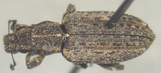 Sitona californius Fabricius - Sitona californius