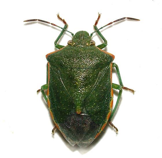 Green Stink Bug - Thyanta custator