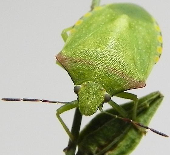 Thyanta calceata