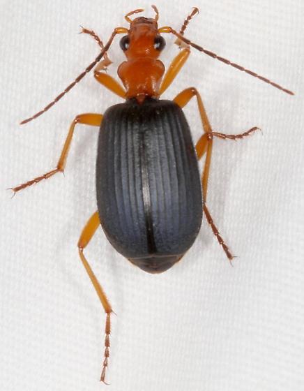 Brachinus - Brachinus tenuicollis