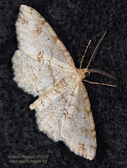 Geometroidea - Melanolophia