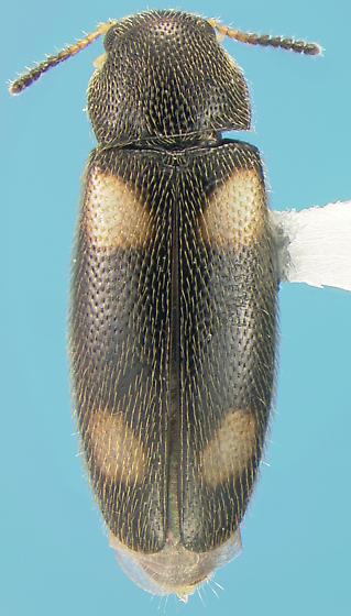 Melandryid - Spilotus quadripustulatus