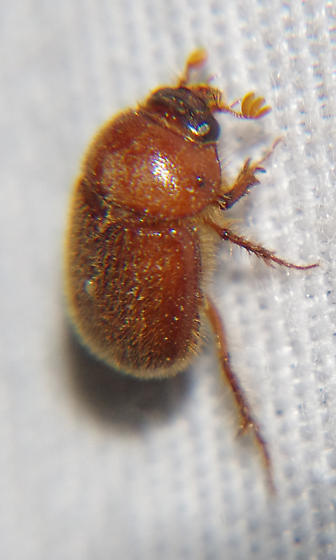 Ochodaeidae - Parochodaeus duplex