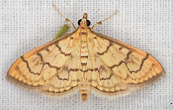 Moth, dorsal - Anania labeculalis