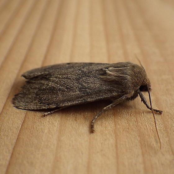 Noctuidae: Ufeus satyricus - Ufeus satyricus