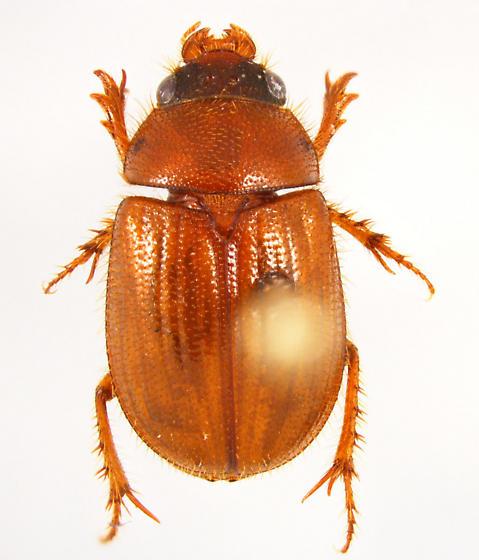 Parochodaeus - Parochodaeus inarmatus