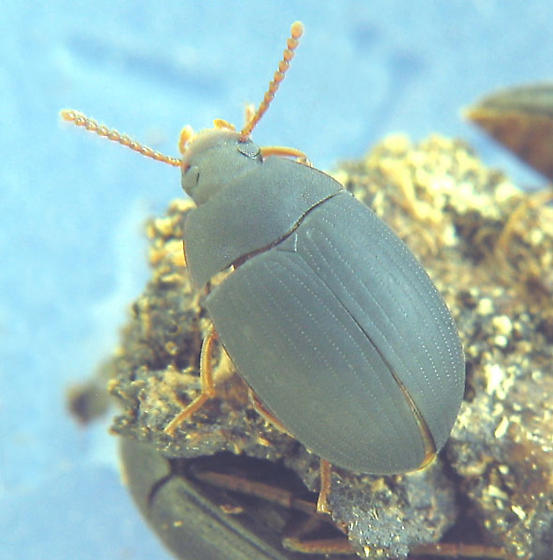 Matt-finish darkling beetle - Platydema ruficorne