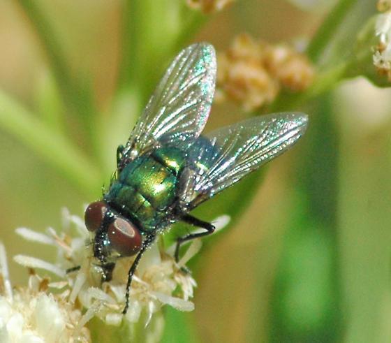 Green Bottle Fly - Lucilia - Neomyia cornicina - male