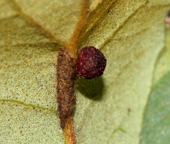 Which gall is this? - Andricus brunneus