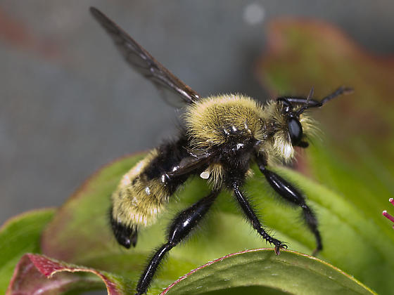 Yellow and Black Bee - Laphria posticata - male