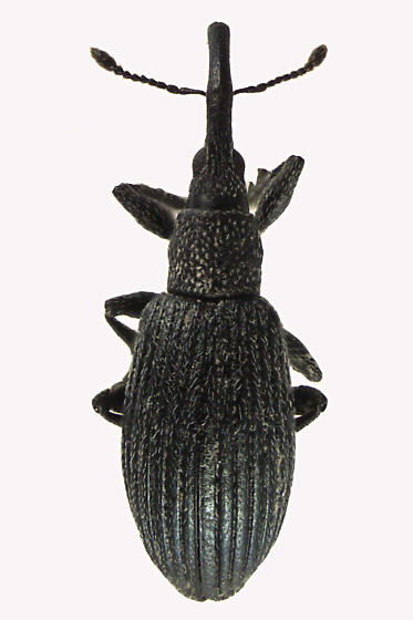 Straight-snouted Weevil - Stenopterapion meliloti