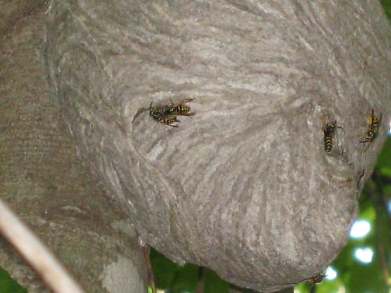 Possible Aerial Yellow Jacket Nest Dolichovespula