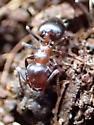 Ant mystery - two populations under rock - Crematogaster