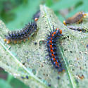 Caterpiller makes netted leaves - Chlosyne lacinia