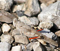 Need a grasshopper id view 2 - Trimerotropis maritima - male