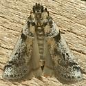 Moth - Laetilia dilatifasciella