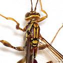 Giant Ichneumon Wasp - Megarhyssa macrurus - male