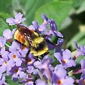 Red-tailed Bumble bee - Bombus huntii