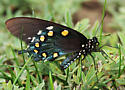 Pipevine Swallowtail_Battus philenor - Battus philenor