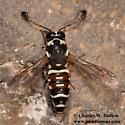 Pseudomasaris maculifrons - male