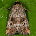 Unknown Moth - Elaphria alapallida