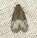 Moth - Ozarba propera