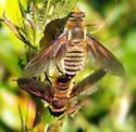 Fly 092716bar - Poecilanthrax lucifer - male - female