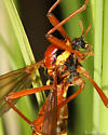 crane fly - Phoroctenia vittata - female