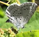 spring azure? - Celastrina echo