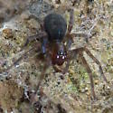 Unidentified spider - Amaurobius ferox