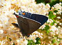 Strymon melinus - Gray Hairstreak - Strymon melinus