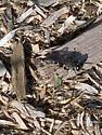 Cricket-hunting wasp - Liris argentatus - female