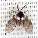 Moth Fly - Lepiseodina conspicua