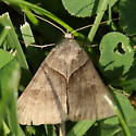 Triangular grass moth - Caenurgina crassiuscula