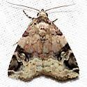 Aerial Brown Moth - Ozarba aeria