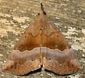 gray-edged bomolocha - Hypena madefactalis - female