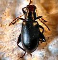 Red-headed Flea Beetle? - Systena frontalis