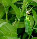 Katydid mothering or murdering scenario - Scudderia - female