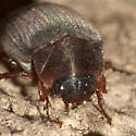 Silky May Beetle - Serica
