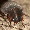 Silky May Beetle - Serica