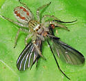 Dimorphic Jumper with prey - Maevia inclemens - female