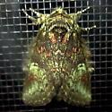 Wavy-Lined Heterocampa - Hodges #7995 (Heterocampa biundata) - Heterocampa biundata