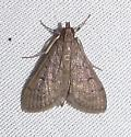 Can this Moth be ID'd? - Herpetogramma phaeopteralis