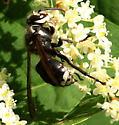 Bald Faced Hornet - Dolichovespula maculata