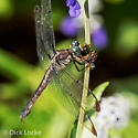 Bee-eating Dragonfly - Libellula