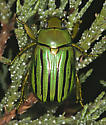 Glorious green scarab - Chrysina gloriosa