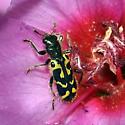 Ornate Checkered Beetle, yellow var. - Trichodes ornatus