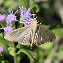 Moth - Condylorrhiza vestigialis